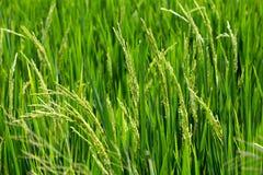 Riso verde nel riso del campo Immagini Stock Libere da Diritti