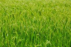Riso verde nel riso del campo Fotografia Stock Libera da Diritti