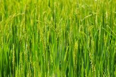 Riso verde nel riso del campo Fotografie Stock