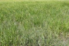Riso verde nell'area di agricoltura Immagini Stock Libere da Diritti