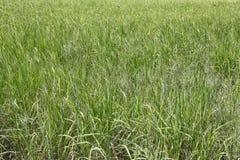 Riso verde nell'area di agricoltura Fotografia Stock