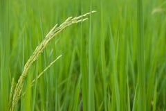 riso verde nella risaia piantagione, azienda agricola, concetto di agricoltura Immagini Stock