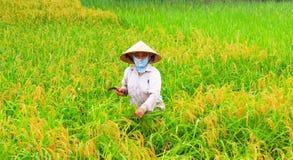 Riso vietnamita del raccolto di donne agricoltori Fotografia Stock Libera da Diritti