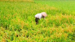 Riso vietnamita del raccolto di donne agricoltori Immagine Stock