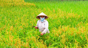 Riso vietnamita del raccolto di donne agricoltori Fotografie Stock Libere da Diritti
