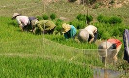 Riso vietnamita della scrofa dell'agricoltore sulla risaia Immagini Stock Libere da Diritti