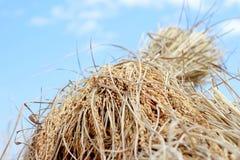 Risone, punte del rendimento del grano del riso Fotografia Stock
