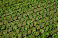 Risone in terreno coltivabile verde Immagini Stock Libere da Diritti