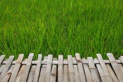 Risone verde nel campo, albero dei grani del riso in Chiang Mai Thailand fotografie stock