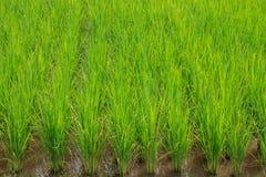 Risone verde nel campo, albero dei grani del riso in Chiang Mai Thailand immagine stock libera da diritti