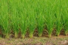Risone verde nel campo, albero dei grani del riso in Chiang Mai Thailand fotografia stock libera da diritti