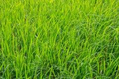 Risone verde nel campo, albero dei grani del riso in Chiang Mai Thailand immagini stock libere da diritti