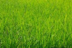Risone verde nel campo, albero dei grani del riso in Chiang Mai Thailand fotografie stock libere da diritti