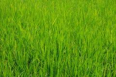 Risone verde nel campo, albero dei grani del riso in Chiang Mai Thailand fotografia stock