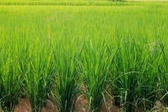 Risone verde nel campo, albero dei grani del riso in Chiang Mai Thailand immagini stock