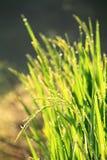 Risone verde Orecchio verde di riso nel giacimento del risone con i rai Immagini Stock