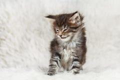 Risos pequenos do gatinho do racum de maine fotografia de stock