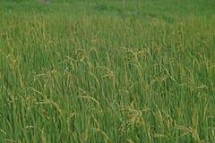 Rispanicle i risfältfält Fotografering för Bildbyråer