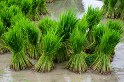 Risplanta Arkivbild