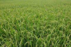 Rissidor och risfält Arkivbild