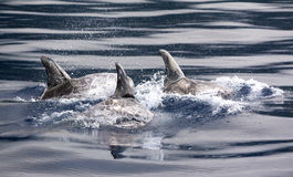 Risso dolphins Stock Photos
