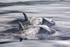 Risso dolphins at the Azores royalty free stock photo