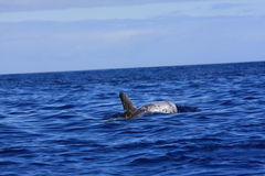 Risso's dolphin Stock Photos
