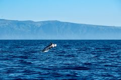 Risso`s dolphin jumping. A Risso`s dolphin near the volcanic coast of Pico island royalty free stock image