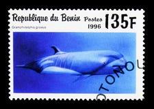 Rissos delfin (späckhuggaregriseusen), däggdjurs- serie för hav, circa 1996 Arkivfoton