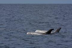 Rissos Dolphin (Grampus Griseus) stock photo