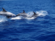 Rissos dolphins stock photo