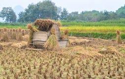 Rissugrörhö i risfältfält efter skörd i regnigt mulet väder arkivfoto