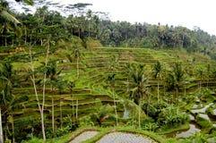 Risterrass i Bali Arkivbilder