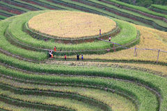 Risterrass i Vietnam Arkivfoto