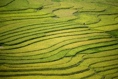 Risterrass i Vietnam Arkivfoton