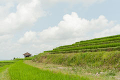 Risterrass på Jatiluwih, Bali arkivfoto