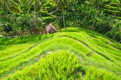 Risterrass, Ubud, Indonesien Royaltyfria Bilder