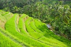 Risterrass, Ubud, Indonesien Royaltyfri Bild