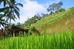Risterrass, Ubud, Indonesien Arkivfoton
