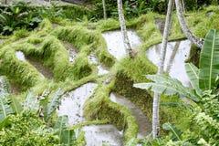 Risterrasser i Tegallalang Denstemmed padien Bali (infött Bali ris) är fullvuxen här på branta terrasser, Bali Fotografering för Bildbyråer