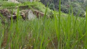 Risterrasser på berget Göra grön och bevattnade risfältfältet med rader av risgroddar Vatten som översvämmar växten close upp stock video