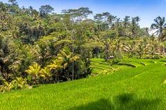 Risterrassfält, Bali, Indonesien Royaltyfri Bild