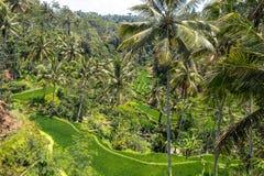 Risterrassfält, Bali, Indonesien Royaltyfria Bilder