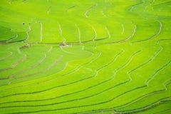 Risterrassfält i den Rainning säsongen på Tule Royaltyfria Foton