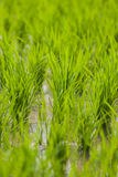 Risväxt Arkivfoto