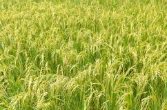 Risväxt i risfält Arkivbild