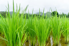 Risväxt i risfält på att regna säsong Arkivfoto