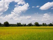 Risväxt i risfältfält fotografering för bildbyråer
