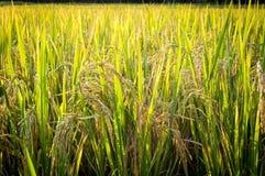 Risväxt i risfältfält i Thailand Royaltyfri Foto