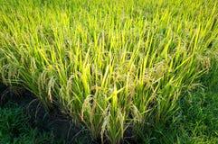 Risväxt i risfältfält i Thailand Arkivfoton
